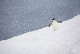 Portrait of a Chinstrap Penguin, Pygoscelis Antarctica, in a Snow Shower Photographic Print by Ira Meyer