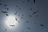 Magnificent Frigatebirds in Flight over Isla Iguana Reproduction photographique par Michael Melford