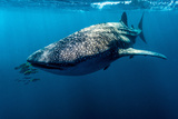 Yellowtail Fusilier Swim in Front of a Filter Feeding Whale Shark Photographic Print by Jason Edwards