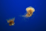 Two Jellyfish Swimming About in an Exhibit at the Monterey Bay Aquarium Photographic Print by Sergio Pitamitz