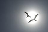 Magnificent Frigatebirds in Flight over Isla Iguana Photographic Print by Michael Melford
