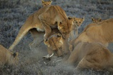 A Pride of Female Lions Take Down a Warthog They Have Dragged from its Burrow Photographic Print by Michael Nichols