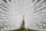 Portrait of a Leucistic Indian Peacock, Pavo Cristatus, with its Tail Feathers Spread Fotografisk tryk af Joe Petersburger