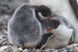 Two Gentoo Penguin Chicks, Pygoscelis Papua, at the Feet of a Parent Photographic Print by Ira Meyer