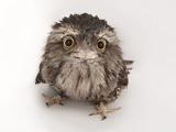 Joel Sartore - A Tawny Frogmouth Owl, Podargus Strigoides, at the Fort Worth Zoo - Fotografik Baskı