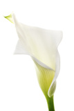 A Calla Lily Photographic Print by Robert Llewellyn