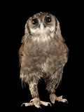Verreaux's Eagle Owl, Bubo Lacteus, at Zoo Atlanta Photographic Print by Joel Sartore