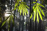 Bamboo Leaves Illuminated in the Sun on a Misty Morning Photographic Print by Alex Saberi