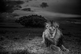 A Dark-Maned Male Lion known as C-Boy Fotografisk tryk af Michael Nichols