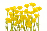 Buttercup Flowers Fotografisk tryk af Robert Llewellyn