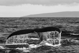 Black and White Photo of a Humpback Whale's Tail Fotografisk tryk af Ralph Lee Hopkins