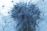 Dandelion Seeds Photographic Print by Robert Llewellyn