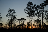 Silhouetted Longleaf Pine Trees, Pinus Palustris, at Sunset Photographic Print by Carlton Ward