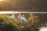 A Great Egret and Snow Goose Rest by the Lake in Ibirapuera Park at Sunset Photographic Print by Alex Saberi