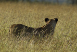 A Lioness, Panthera Leo, Looking across a Sea of Tall Grass Photographic Print by Beverly Joubert