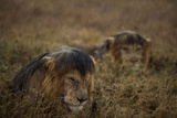 Adult Male Lions Lie Side by Side During an Afternoon Rain Shower in Serengeti National Park Fotografisk tryk af Michael Nichols