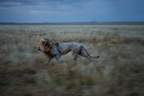 An Adult Male Lion, Hildur, Frequently Makes a Long Run to Visit the Simba East Pride Photographic Print by Michael Nichols