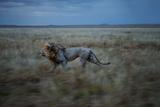 An Adult Male Lion, Hildur, Frequently Makes a Long Run to Visit the Simba East Pride Lámina fotográfica por Nichols, Michael