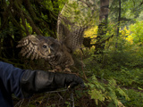 A Federally Threatened Northern Spotted Owl in a Healthy Habitat Photographic Print by Joel Sartore