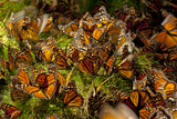 Monarch Butterflies, Danaus Plexippus, Drinking from Wet Grasses Along a Mountain Stream Photographic Print by Medford Taylor