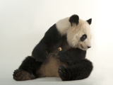 A Giant Panda, Ailuropoda Melanoleuca, at Zoo Atlanta Photographic Print by Joel Sartore