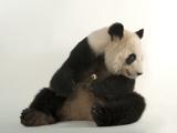 A Giant Panda, Ailuropoda Melanoleuca, at Zoo Atlanta Lámina fotográfica por Sartore, Joel