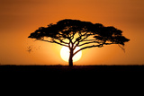 A Silhouetted Acacia Tree, Acacia Species, at Sunset Fotografisk tryk af Jeff Mauritzen