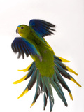 A Critically Endangered Orange-Bellied Parrot, One of the Rarest Birds in the World Photographic Print by Joel Sartore
