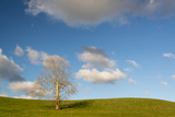 Michael Melford - A Lone Sycamore Tree in a Grass Meadow Fotografická reprodukce