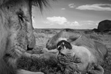 An adult male lion, C-Boy, and a Vumbi female relax between matings. Fotografisk tryk af Michael Nichols
