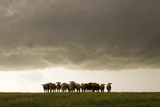 A Herd of Cattle Standing Side-By-Side, in a Perfect Row, in a Field under a Thunderstorm Impressão fotográfica por Mike Theiss