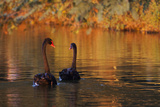 A Pair of Black Swans Glide on Ibirapuera Park Lake in the Evening Photographic Print by Alex Saberi