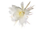 Hylocereus Undatus in Bloom Photographic Print by Robert Llewellyn