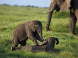 Two African Elephant Calves, Loxodonta Africana, Playing Near a Grazing Adult Elephant Photographic Print by Beverly Joubert