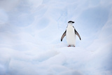 Portrait of a Chinstrap Penguin, Pygoscelis Antarctica, on an Iceberg Photographic Print by Ira Meyer