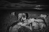 A Lion Pride Feasts on an Eland Stampa fotografica di Nichols, Michael