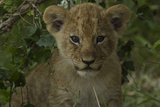 Close Up Portrait of a Lion Cub, Panthera Leo Photographic Print by Beverly Joubert