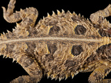 A Texas Horned Lizard, Phrynosoma Cornutum, at the Fort Worth Zoo Photographic Print by Joel Sartore