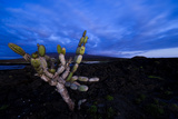 Candelabra Cactus at Sunset Photographic Print by Mattias Klum