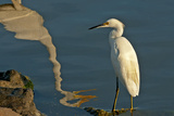 Portrait of a Snowy Egret, Egretta Thula and a Reflection in Water Photographic Print by Medford Taylor