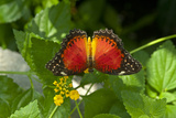 A Red Lacewing Butterfly Alights on a Plant with Small Yellow Flowers Photographic Print by Medford Taylor