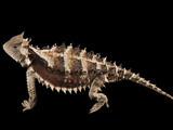 A Giant Horned Lizard, Phrynosoma Asio, at the Los Angeles Zoo Photographic Print by Joel Sartore
