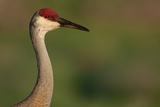 A Sandhill Crane Near Tiger Lake in Polk County, Florida Photographic Print by Carlton Ward