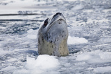 A Leopard Seal, Hydrurga Leptonyx, Surfaces for Air in Brash Ice Photographic Print by Ira Meyer