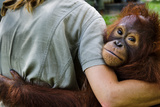 An Orangutan with Keeper at the Borneo Orangutan Survival Center Photographic Print by Mattias Klum