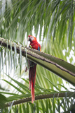 A Scarlet Macaw Perching in a Palm Tree Fotografisk tryk af Michael Melford
