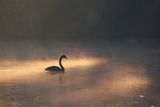 A Black Swan Glides Through Golden Sunrise Mists of Ibirapuera Park Photographic Print by Alex Saberi