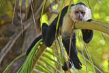 A White-Headed Capuchin, Cebus Capucinus, in Costa Rica's Manuel Antonio National Park Photographic Print by Kike Calvo