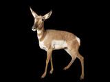 Endangered Peninsula Pronghorn Antelopes at the Los Angeles Zoo Photographic Print by Joel Sartore