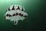 Portrait of a Purple-Striped Jellyfish, Chrysaora Colorata, Swimming Photographic Print by Jeff Wildermuth